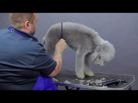 Bedlington Terrier Trim - Groomers Gallery Preview