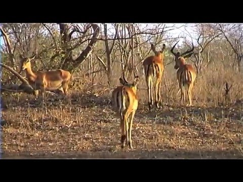 African Wildlife HD Part 1 - South Africa Kruger Park 24 - T