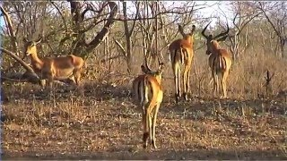 African Wildlife HD Part 1 – South Africa Kruger Park 24 – Travel Channel