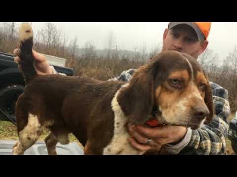 Weir Creek Beagles - Wood's Weir Creek Kennel - Rabbit Hunting 2019
