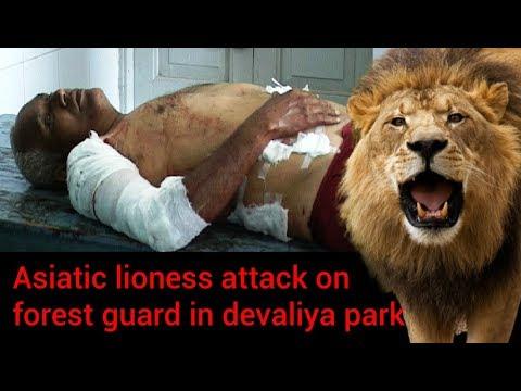 Asiatic lioness attack on forest guard in devaliya park देवलिया पार्क में वन गार्ड पर एशियाई शेरनी ह