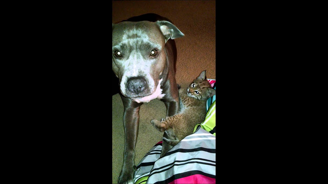 Bobcat vs pitbull