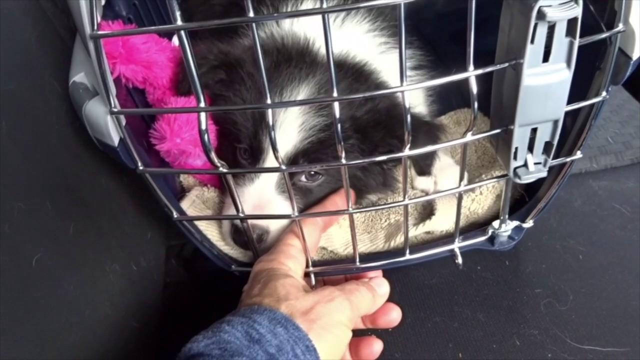 L Arrivee Du Chiot Le Trajet En Voiture Et Premiere Journee Partenaire Canin