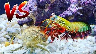 STONE CRAB vs Giant Mantis Shrimp! *EPIC BATTLE ROYALE*