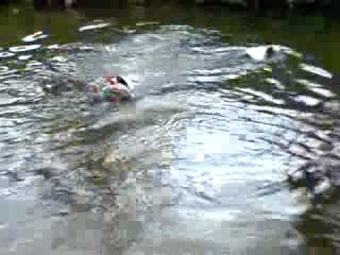 English Pointer retrieving pheasant dummy from river 2
