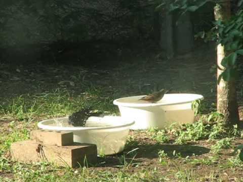 Birds in Bird-Bath Bowls