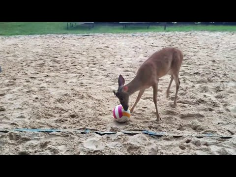 The KiddChris Show - Young deer enjoys playing a little beach volleyball.