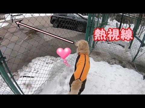 雪遊び中ママがいなくなって焦るゴールデンレトリバーのはっち