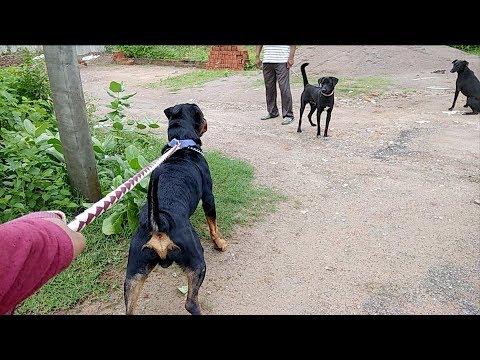 Vlog of Rottweiler : Angry and Play at the same time : [ Bolt ]