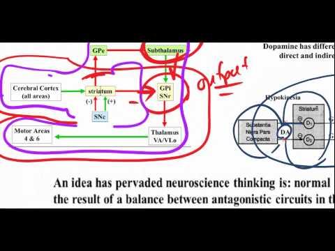Basal Ganglia -  Hypokinetic Hyperkinetic Parkisons, Huntingtons, Ballismus, Athetosis (4)