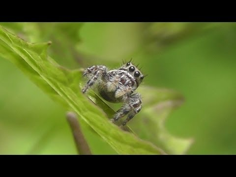 Insects & Spiders: Jumping Spiders, Robber Flies, Crab Spider, Ladybug and Carpenter Ants & Aphids