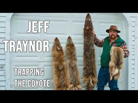 239 JEFF  TRAYNOR - Trapping the Coyote