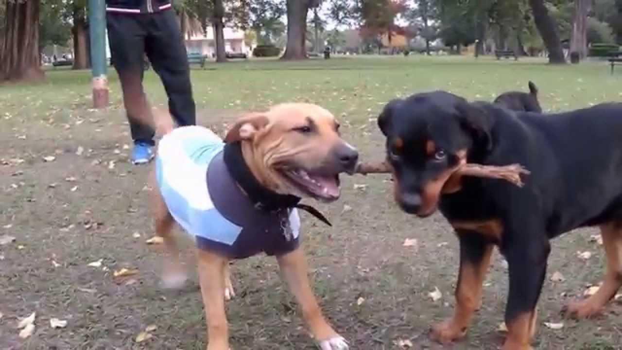 American Staffordshire Terrier Vs  Rottweiler
