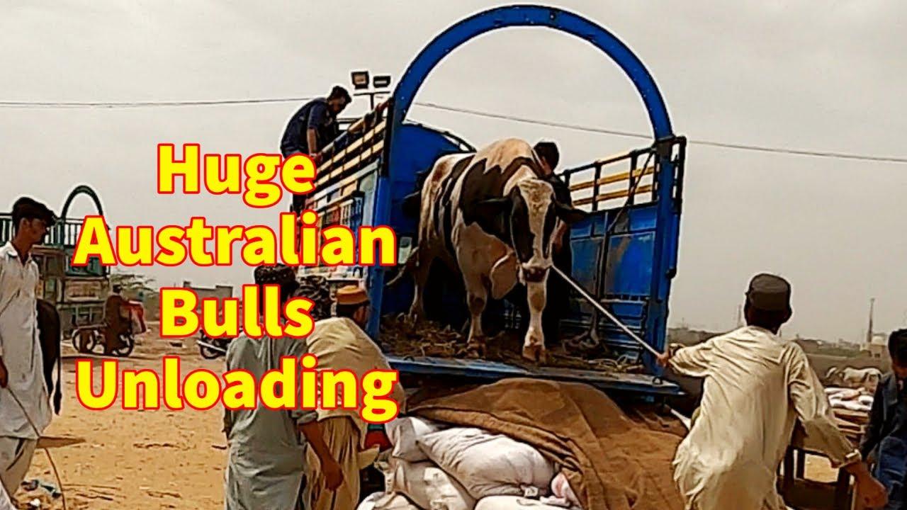 Huge Australian Bulls Unloading and Cattle Prices.
