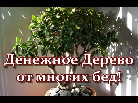 Денежное Дерево от