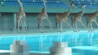 Видео про жирафов Ухохочешься!!!