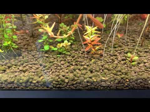 Farm Tank VLOG PREMIER: Rotala Rotundifolia Type 2