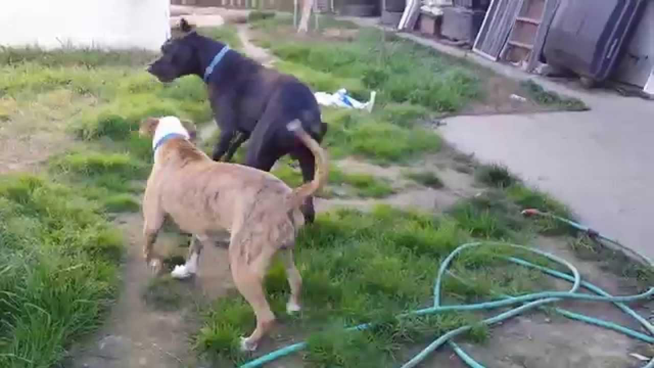 R Great Danes Smart Boxer vs great Dane | ...