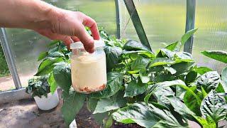 Если сделать это с болгарским в июле в жару урожай не унесете домой! Уход за перцем в июле в жару