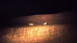 Three Antelope spotted while looking for Black-Footed Ferrets