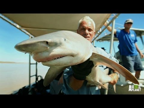 Fan Favorite: Rare Glyphis Shark Filmed | River Monsters