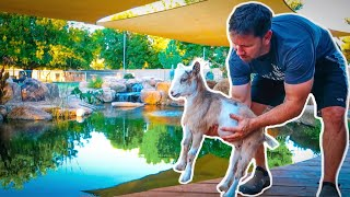 TRY not to FALL in! 😂(baby goat meets pond)