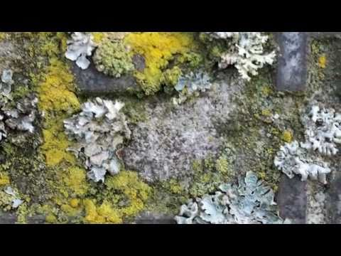 Lichens at Mount Pleasant Cemetery, Seattle