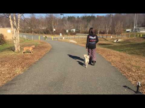 Shiba Inu's Cassius and Carly: Shiba Inu Dog Training | Off Leash K9 Training