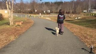 Shiba Inu's Cassius and Carly: Shiba Inu Dog Training | Off Leash K9 Training