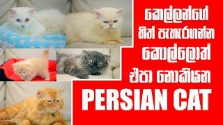 කෙල්ලන්ගේ හිත් පැහැරගන්න කොල්ලොත් එපා නොකියන Persian cat