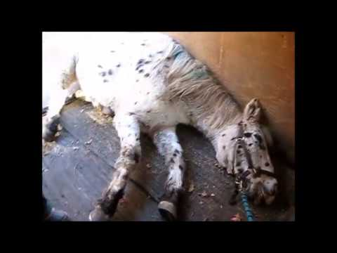 warning graphic; Euthanasia  of pony filmed by Twombly Publishing