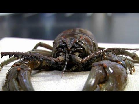 شاهد: العثور على كائن عملاق شبيه بسرطان البحر بمحطة تصفية مياه في أمريكا…  - نشر قبل 23 ساعة