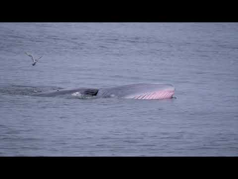 Bryde's Whale Watching