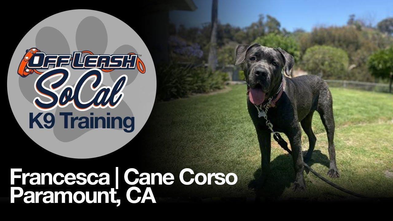 Francesca   Cane Corso   Paramount, CA