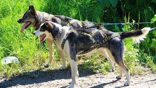 Sun Dog Kennels - Sled Dog Excursion - Talkeetna, Alaska