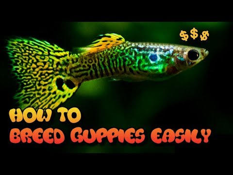 HOW TO BREED GUPPIES (3 EASY WAYS)