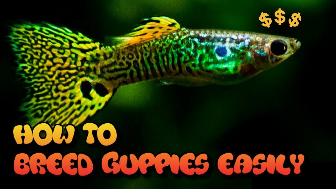 How To Breed Guppies 3 Easy Ways Youtube
