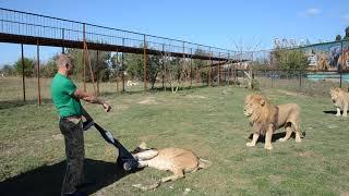 СМОТРЕТЬ ВСЕМ , кто собирается в  Саванну ко львам !!! Лев Малыш наказывает Лейлу !