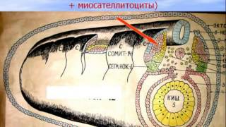 Мышечные ткани. Видео лекция С.М. Зиматкина (8)