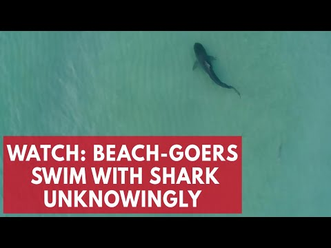 Terrifying moment beach-goers swim with shark unknowingly