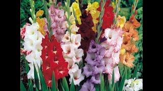 Пестрые краски весны   выбираем новые сорта гладиолусов и георгин!