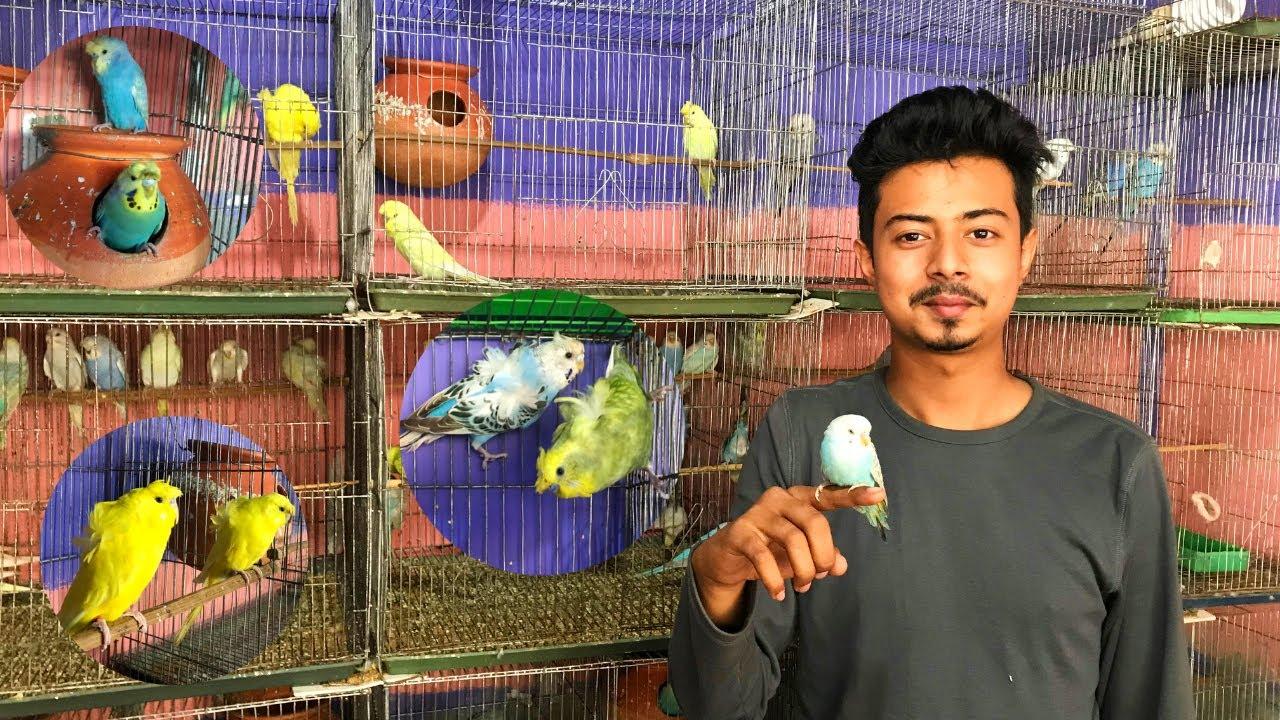 সুস্থ সবল বাজরিগার পাখি কিনুন তুর্যের দোকান থেকে | বিভিন্ন ধরনের বাজরিগার পাখির মেলা | TM Bird World