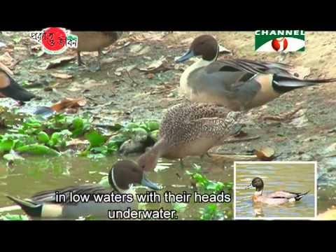 Nature and Life   Episode 46 Wild Ducks