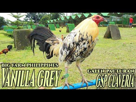 Nice Vanilla Grey Big Farm Philippines GSP Claveria Farm