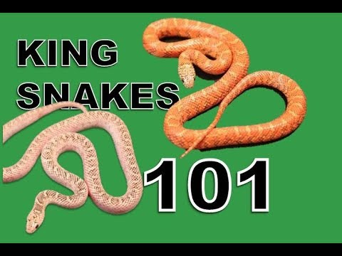 King Snake Care and Morphs