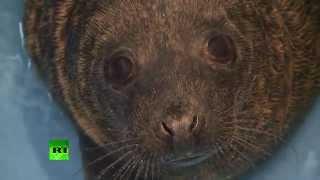 Спасенные под Петербургом тюлени и нерпы идут на поправку(Сотрудники Центра реабилитации морских млекопитающих в поселке Репино под Санкт-Петербургом начали дават..., 2014-04-18T11:28:05.000Z)