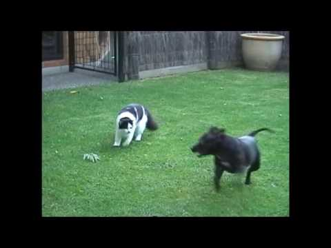 Copy of Psycho Cat Attacks Staffordshire Bull Terrier