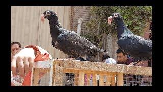 جولة سوق الحمام  ج٣ #جمهورية_المحله_الكبري_للحمام Egyptian pigeon''s market