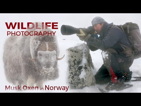 Wildlife Photography - Musk Oxen part 2 | Behind the scenes