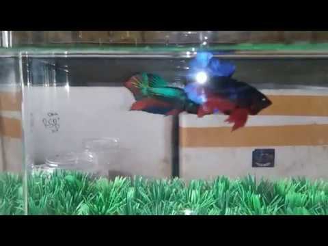 Rahasia Mencetak Ikan Cupang Avatar Youtube